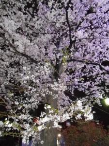 夜桜 001